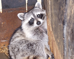 Raccoon Nest in Your Chimney