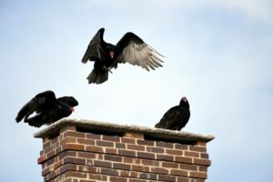turkeys on a chimney