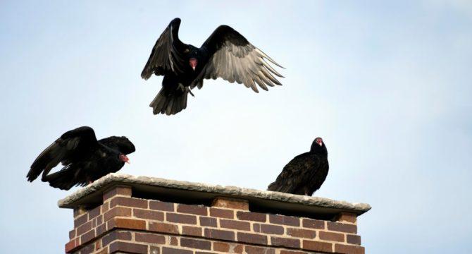turkeys on a chimney