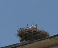 How to clean birds nest out of chimney